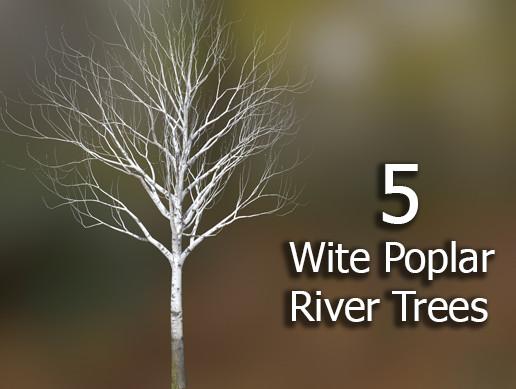 5 White Poplar River Trees
