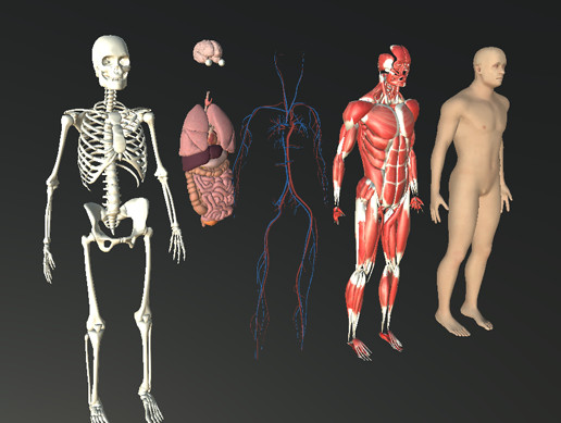 Human Humanoid Skeleton Muscle Skin Veins Stomach Liver Heart Lungs Scull Anatomy Mega Pack