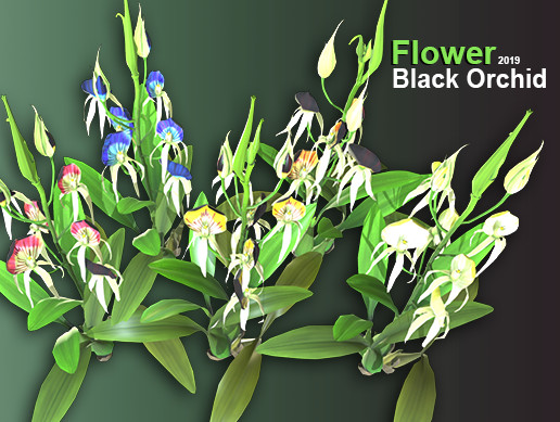 Flower Black Orchid