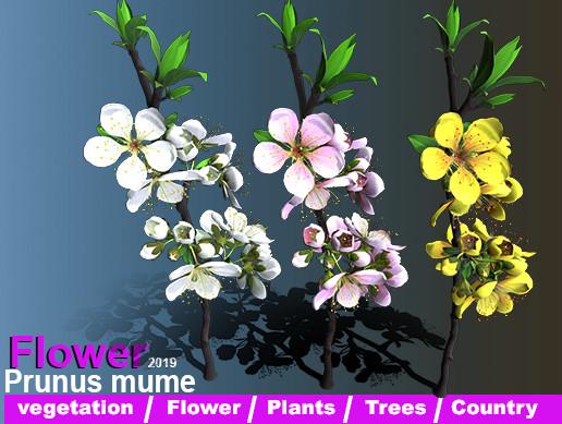Flower Prunus Mume