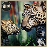 Animalia - Leopard (pack)