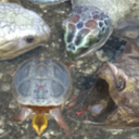 6 Turtles Pack