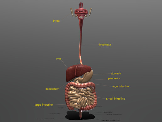 digestive system 3D Model