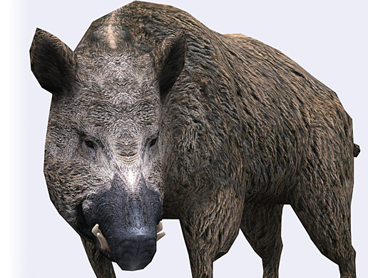 Animals Wild Boar